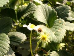 大洗ベリーズのイチゴの花