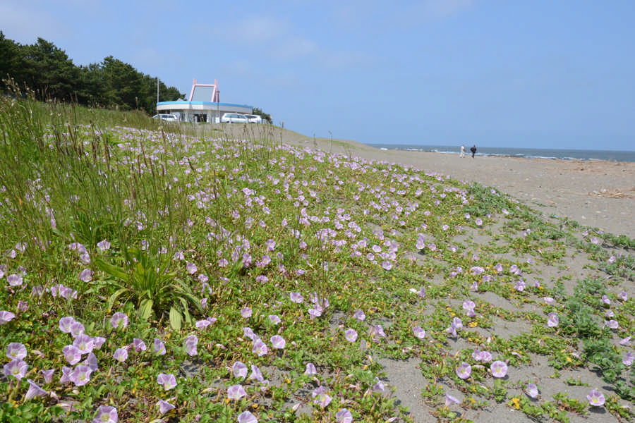 Convolvulus on Oarai Coast