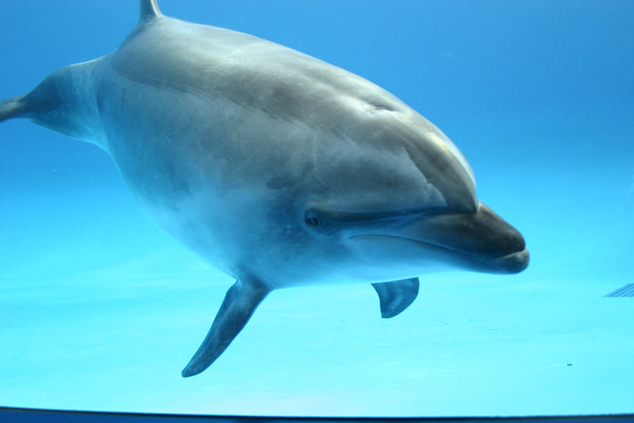 Bottlenose Dolphin (Aqua World Oarai Aquarium)
