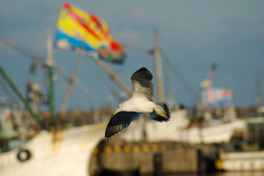 漁港上空を飛ぶ海鳥