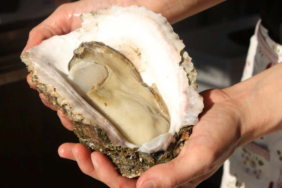 Palm-sized rock oysters