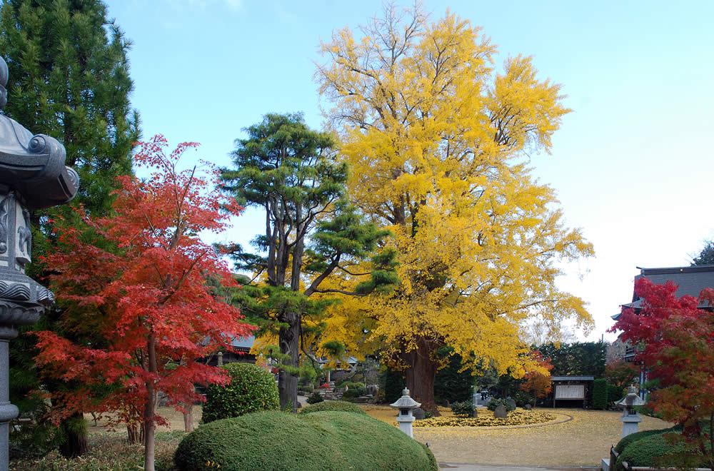 "Ginkgo Biloba tree ""carrying leaves"" (O-hatsuki-ichou)"